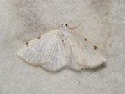 Lomographa bimaculata (Zweifleck-Weissspanner) / GEOMETRIDAE/ Ennominae (Spanner)