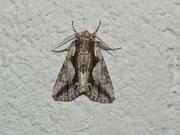 Calliergis ramosa (Geissblatt-Kappeneule) / NOCTUIDAE/Oncocnemidinae (Eulen)