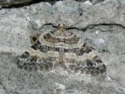 Perizoma minorata (Kleiner Augentrost-Kapselspanner)  / GEOMETRIDAE/Larentiinae (Spanner)