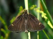 Heteropterus morpheus (Spiegelfelck-Würfelfalter) / HESPERIIDAE (Dickkopffalter)