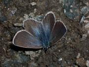 Plebeius obtilete (Moor-Heidelbeer-Bläuling, Weibchen) / LYCAENIDAE/Polyommatini (Bläulinge)