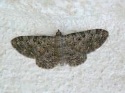 Eupithecia impurata