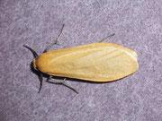 Eilema sororcula (Frühlings-Flechtenbärchen) / ARCTIIDAE/Lithosiinae (Bärenspinner)