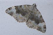 Coenotephria tophaceata (Grosser Felsen-Bindenspanner) / GEOMETRIDAE/Larentiinae (Spanner)
