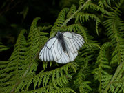 Aporia crataegi (Baumweissling) / PIERIDAE/Pierinae (Weisslinge)