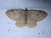 Triphosa sabaudiata (Gelblichgrauer Höhlenspanner) (Heidespanner) / GEOMETRIDAE/Larentiinae (Spanner)