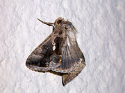 Chrysodeixis spec./ NOCTUIDAE (Eulen)