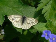 Pieris bryoniae (Bergweissling, Weibchen) / PIERIDAE/Pierinae (Weisslinge)