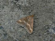 Pyrausta arealis / PYRALIDAE/Pyraustinae (Zünsler)