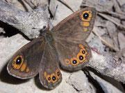 Lasiommata petropolitana (Braunscheckauge) / NYMPHALIDAE/Satyrinae (Edelfalter)