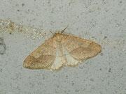 Argiopis marginaria