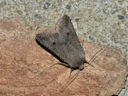 Agrochola lota (Dunkelgraue Herbsteule) / NOCTUIDAE (Eulen)
