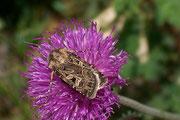 Chersotis alpestris / NOCTUIDAE (Eulen)