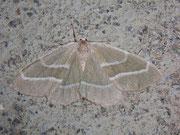 Hylaea fasciaria (Zweibindiger Nadelwaldspanner) / GEOMETRIDAE/Ennominae (Spanner)