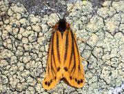 Setina aurita (Gelber Alpen-Flechtenbär) / ARCTIIDAE/Lithosiinae (Bärenspinner)