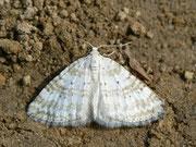 Perizoma albulata (Klappertopf-Kapselspanner) / GEOMETRIDAE/Larentiinae (Spanner)