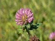 Trifolium (Klee) / FABACEAE
