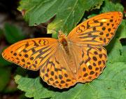 Argynnis paphia (Kaisermantel, Männchen) / NYMPHALIDAE/Heliconiinae (Edelfalter)
