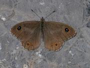 Lasiommata maera (Braunauge, Männchen) / NYMPHALIDAE/Satyrinae (Edelfalter)