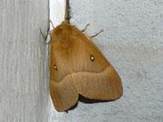 Lasiocampa quercus (Eichenspinner) / LASIOCAMPIDAE (Glucken)
