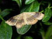 Idaea aversata (nominotypische Form)