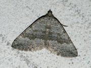 Scotopteryx bipunctaria