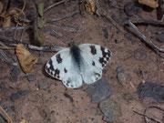 Pontia daplidice (Weibchen) / PIERIDAE/Pierinae (Weisslinge)