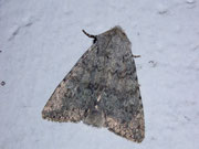 Apamea platinea (Platingraue Grasbüscheleule) / NOCTUIDAE (Eulen)