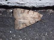 Eugnorisma depuncta (Basalfleck-Bodeneule) / NOCTUIDAE (Eulen)
