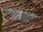 Eupithecia semigraphata
