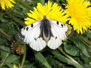 Parnassius mnemosyne (Schwarzer Apollo) /  PAPILIONIDAE/Parnassinae (Ritterfalter)