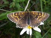 Melitaea diamina (Baldrian-Scheckenfalter) / NYMPHALIDAE/Tribus Meliteaini (Edelfalter)