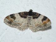 Catarhoe cuculata (Braunbinden-Blattspanner) / GEOMETRIDAE/Larentiinae (Spanner)