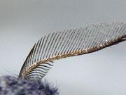 Poecilocampa populi (Kleine Pappelglucke) Männchen