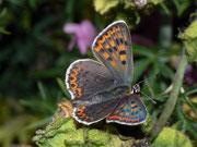 Lycaena tityrus (Brauner Feuerfalter, Weibchen) / LYCAENIDAE/Lycaeninae (Bläulinge)