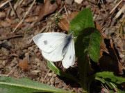 Pieris mannii (Karstweissling, Weibchen) / PIERIDAE/Pierinae (Weisslinge)