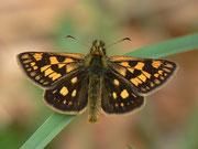 Carterocephalus palaemon (Gelbwürfeliger Dickkopffalter) / HESPERIIDAE/Heteropterinae (Dickkopffalter)