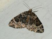 Ecliptopera silaceata (Braunleibiger Springkrautspanner)  / GEOMETRIDAE/Larentiinae (Spanner)