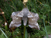 Laothoe populi (Pappelschwärmer)