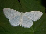 Scopula floslactata (Gelblichweisser Kleinspanner) / GEOMETRIDAE/ Sterrhinae (Spanner)
