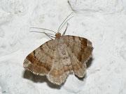 Macaria liturata (Violettgrauer Eckflügelspanner) / GEOMETRIDAE/Ennominae (Spanner)