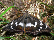Apatura iris (Grosser Schillerfalter, Männchen) / NYMPHALIDAE/Apaturinae (Edelfalter)