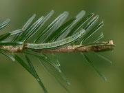 Macaria liturata (Violettgrauer Eckflügelspanner)