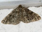 Deileptenia ribeata (Moosgrüner Rindenspannre) / GEOMETRIDAE/Ennominae (Spanner)