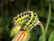 Zygaena filipendulae (Sechsfleck-WIdderchen)