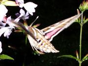 Hyles livornica (Linienschwärmer) / SPHINGIDAE (Schwärmer)