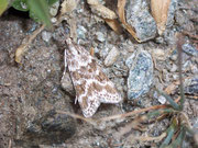 Eudonia sudetica / CRAMBIDAE/Scopariinae (Zünsler)