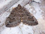 Hydriomena furcata (Heidelbeer-Palpenspanner) / GEOMETRIDAE/Larentiinae (Spanner)