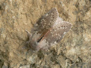 Stauropus fagi (Buchen-Zahnspinner) / NOTODONTIDAE (Zahnspinner)
