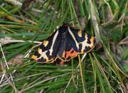 Parasemia plantaginis (Wegerichbär) / ARCTIIDAE/Arctiinae (Bärenspinner)